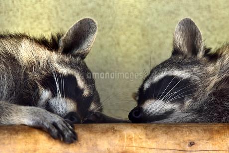 睡眠中のアライグマの写真素材 [FYI01268074]