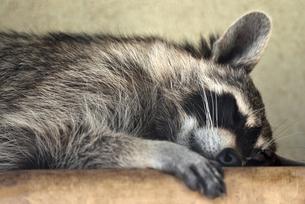 睡眠中のアライグマの写真素材 [FYI01268075]
