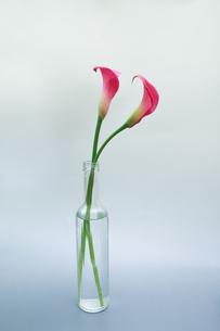 ガラス瓶にさしたカラーの写真素材 [FYI01268103]
