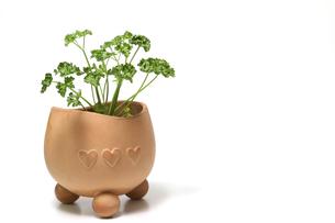 植木鉢に植えたパセリの写真素材 [FYI01268105]
