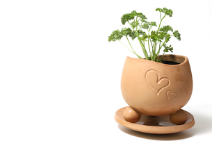 植木鉢に植えたパセリの写真素材 [FYI01268106]