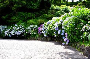伊豆下田公園のあじさいの写真素材 [FYI01268253]