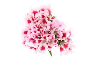 イロマツヨイグサの花束の写真素材 [FYI01268262]