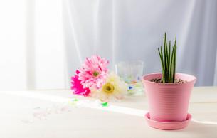 日が差す窓際に置かれたピンクの鉢に植えられたサンセベリアスタッキーとカラフルなガーベラの写真素材 [FYI01268326]
