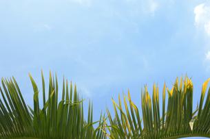 快晴の青空とソテツの葉の写真素材 [FYI01268415]
