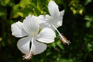 南国沖縄の白いハイビスカスの写真素材 [FYI01268419]