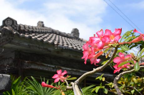 沖縄の赤い花と瓦屋根の写真素材 [FYI01268424]