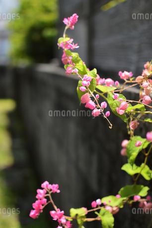 路地裏に咲く可愛いピンクの花の写真素材 [FYI01268425]