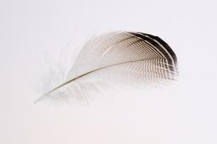 ウッドダックの羽毛の写真素材 [FYI01268522]