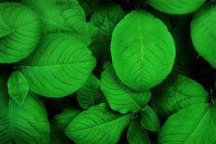 ミズヒキの葉の群生の写真素材 [FYI01268697]