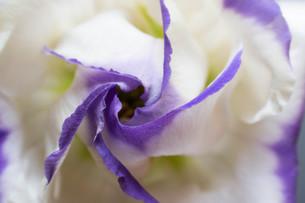 紫色の縁取りのある白いトルコキキョウの写真素材 [FYI01268731]
