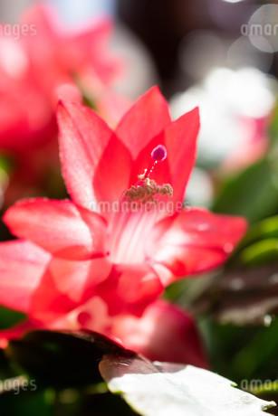 赤いサボテンの花のクローズアップの写真素材 [FYI01268732]
