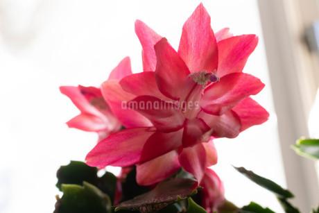 赤いサボテンの花のクローズアップの写真素材 [FYI01268733]
