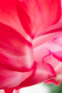 赤いサボテンの花のクローズアップの写真素材 [FYI01268734]