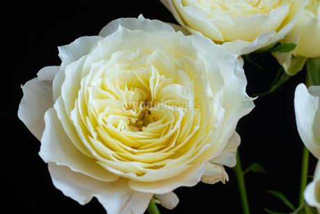 黒背景の白いバラの写真素材 [FYI01268735]