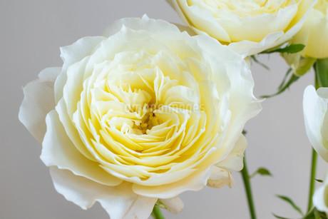 白背景の白いバラの写真素材 [FYI01268736]