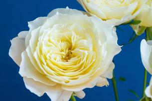 青背景の白いバラの写真素材 [FYI01268737]