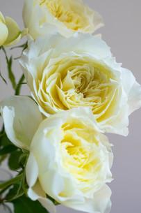 白背景の白いバラの写真素材 [FYI01268738]