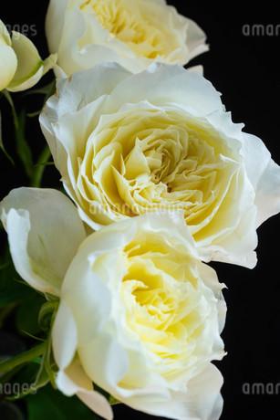 黒背景の白いバラの写真素材 [FYI01268739]