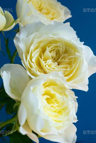 青背景の白いバラの写真素材 [FYI01268740]
