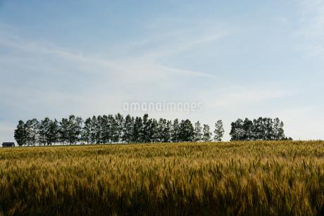 収穫前のムギ畑と白樺並木 美瑛町の写真素材 [FYI01268745]