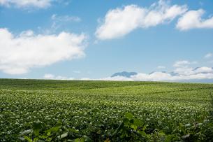白い花が咲くジャガイモ畑と青空の写真素材 [FYI01268746]
