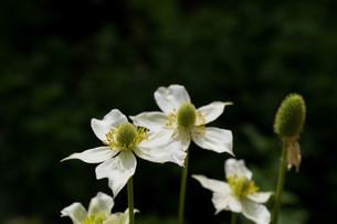 黒背景の白い花の写真素材 [FYI01268747]