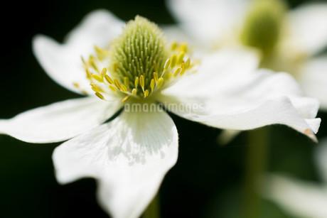 黒背景の白い花の写真素材 [FYI01268748]