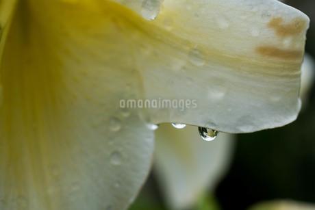 雨上がりの花びらについた滴の写真素材 [FYI01268753]