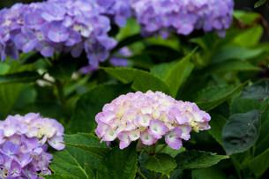 薄紫色のアジサイの写真素材 [FYI01268756]