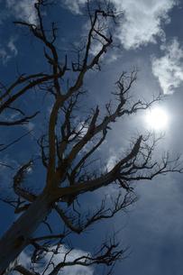 逆光でシルエットになる枯れ木の写真素材 [FYI01268863]