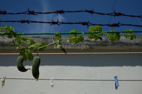 有刺鉄線とゴーヤーと洗濯ロープの写真素材 [FYI01268874]