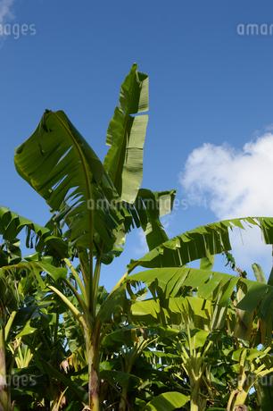 晴天の空と南国沖縄のバナナの葉の写真素材 [FYI01268878]
