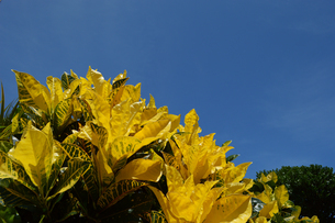 晴天の青空と南国沖縄のクロトンの写真素材 [FYI01268897]