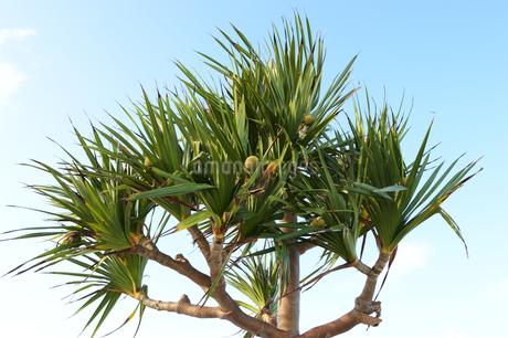 晴天の空と南国沖縄の植物の写真素材 [FYI01268898]