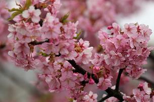 河津桜の写真素材 [FYI01269031]