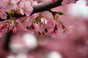 河津桜の写真素材 [FYI01269035]