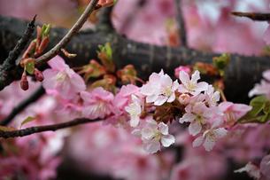 河津桜の写真素材 [FYI01269036]