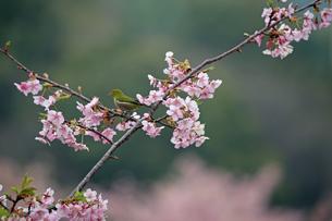河津桜とメジロの写真素材 [FYI01269039]