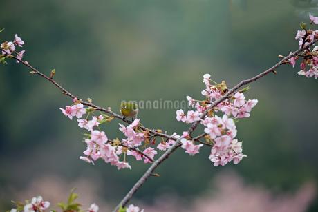 河津桜とメジロの写真素材 [FYI01269041]