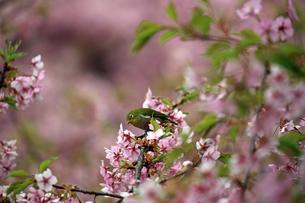河津桜とメジロの写真素材 [FYI01269043]
