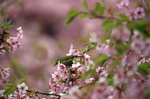 河津桜とメジロの写真素材 [FYI01269044]