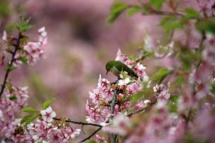 河津桜とメジロの写真素材 [FYI01269045]