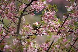 河津桜とメジロの写真素材 [FYI01269046]