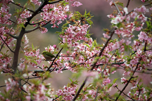 河津桜とメジロの写真素材 [FYI01269047]