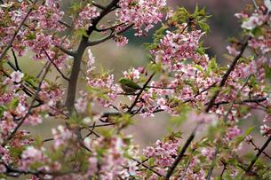 河津桜とメジロの写真素材 [FYI01269048]