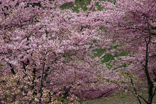 河津桜の写真素材 [FYI01269071]