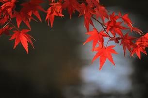 水辺を背景にした赤く色づくカエデの写真素材 [FYI01269074]