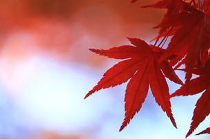 赤く色付いた楓の葉のクローズアップ写真の写真素材 [FYI01269084]