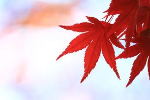 赤く色付いた楓の葉のクローズアップ写真の写真素材 [FYI01269085]